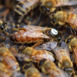 Buckfast Queen Bees (artificially inseminated)