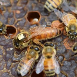 Buckfast Queen Bees (naturally mated)