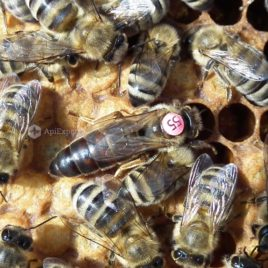 Carniolan Queen Bees (artificially inseminated)