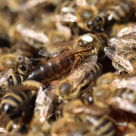 Carniolan Queen Bees (naturally mated)