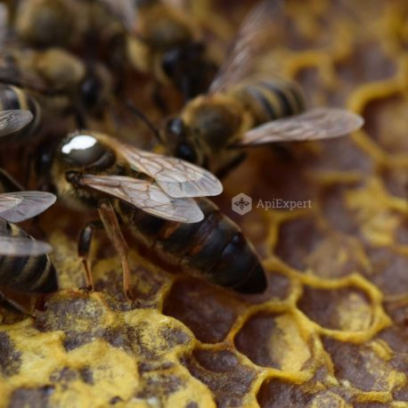 Carpathian Queen Bees (naturally mated)