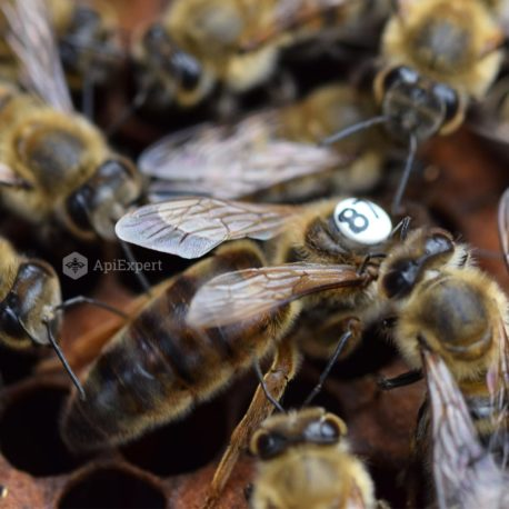 Caucasian Queen Bees (artificially inseminated)
