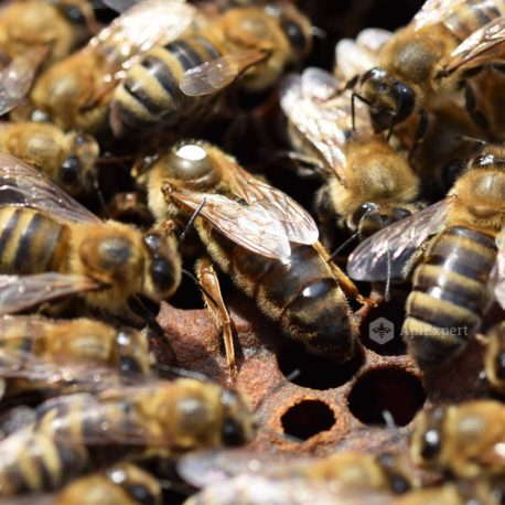Caucasian Queen Bees (naturally mated)