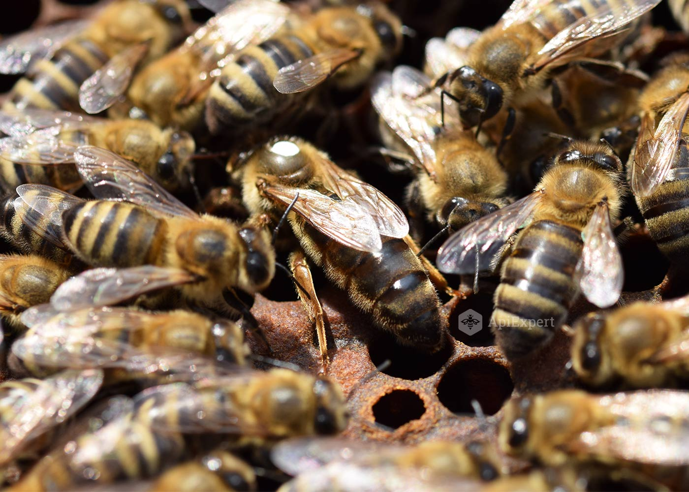 drones bee with Caucasian Queen Bees on Watch besides Hor additionally Paper Wasp moreover The First Drone as well Insects Types Of Wasps Wasp Sting Treatment.