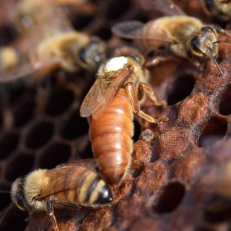 Italian Queen Bees (naturally mated)