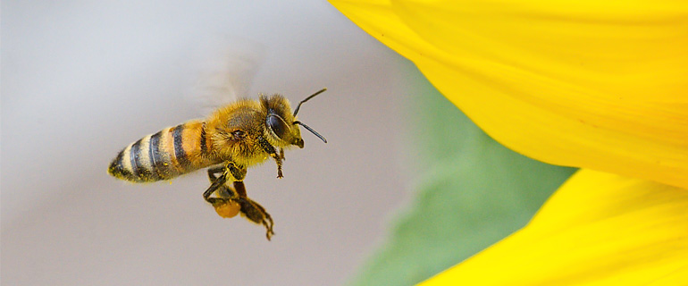 The Buckfast Honey Bee. Characteristics and recommendations