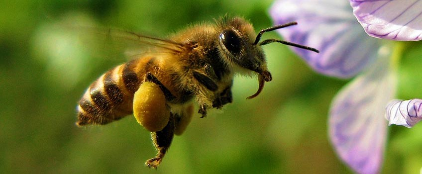 The protein requirements for honey bees (part two)