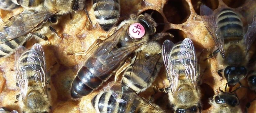 How to introduce a queen in a newly formed colony or swarm?