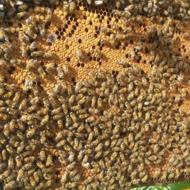 Bee Swarms on 5 Dadant Frames