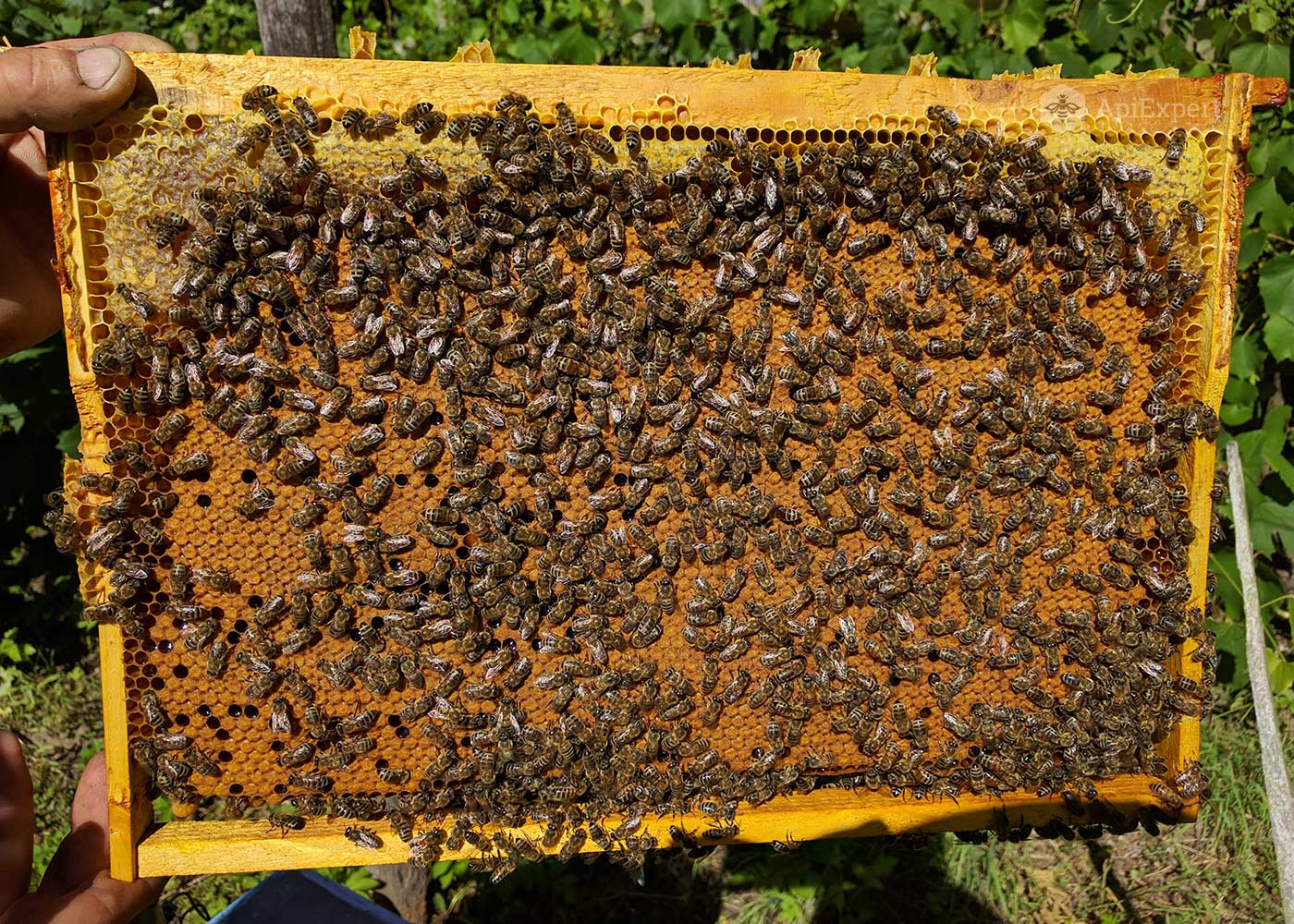Bee Swarms on 4 Dadant Frames • ApiExpert