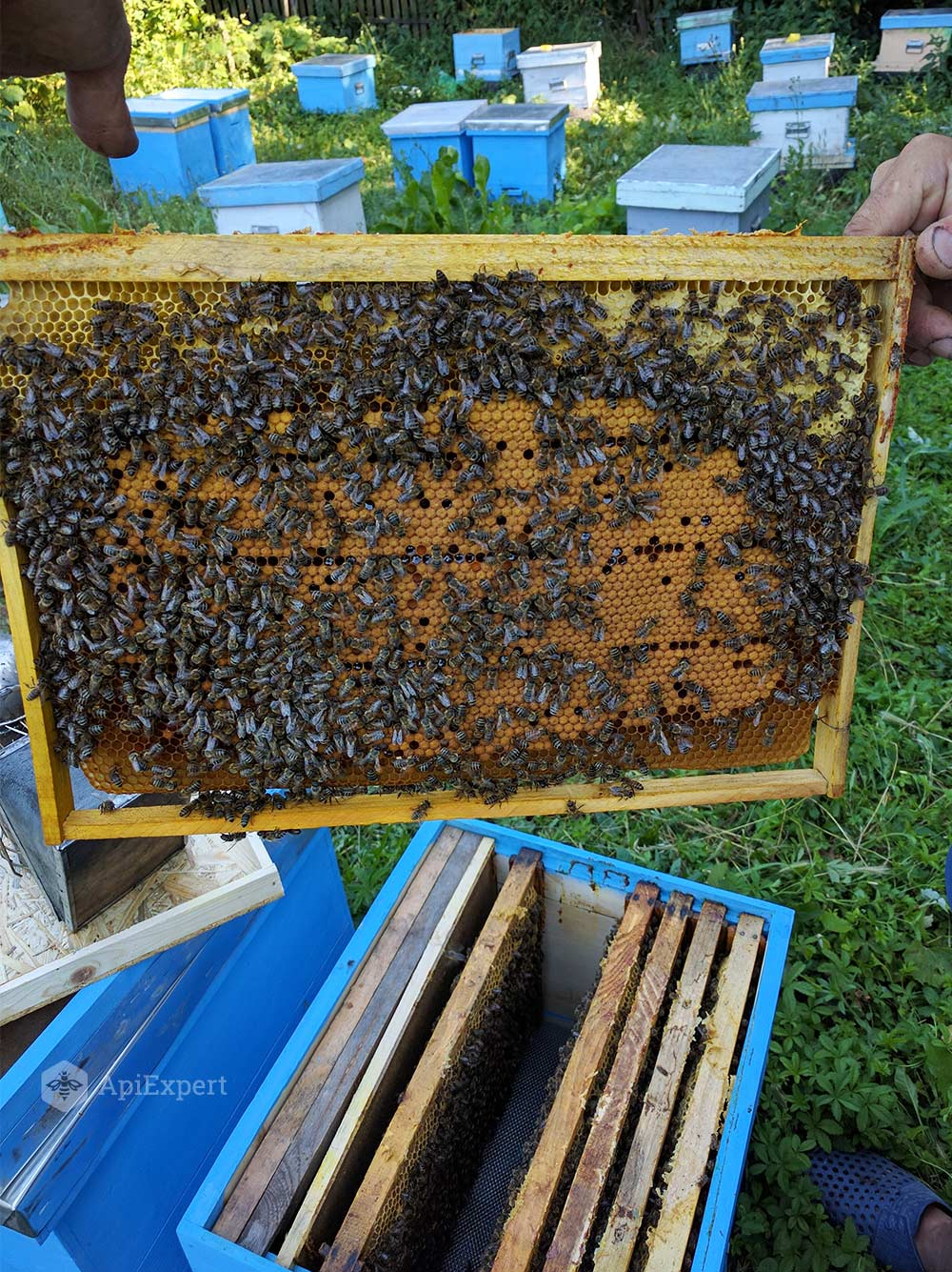 Bee Swarms on 6 Dadant Frames • ApiExpert