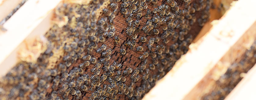 How to treat Varroa mites using Formic Acid and Amitraz [Video]