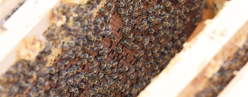 Tratamiento contra la varroasis con ácido fórmico y amitraz (vídeo)