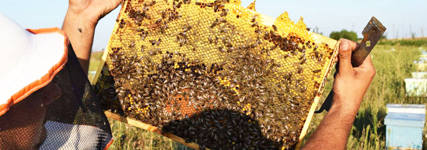 Beekeeping from Passion to Profession: a complete, homogeneous and professional working system