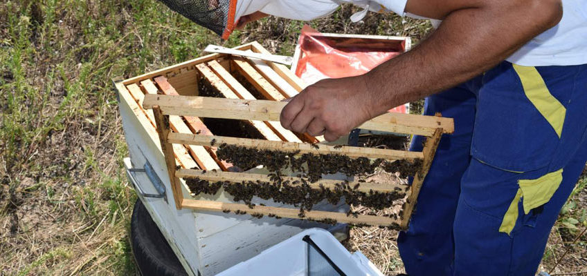 Queen Rearing (raising): a realistic approach based on understanding the honeybee